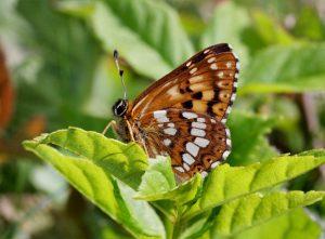 http://www.learnaboutbutterflies.com/Hamearis%20lucina%209293-001a.jpg