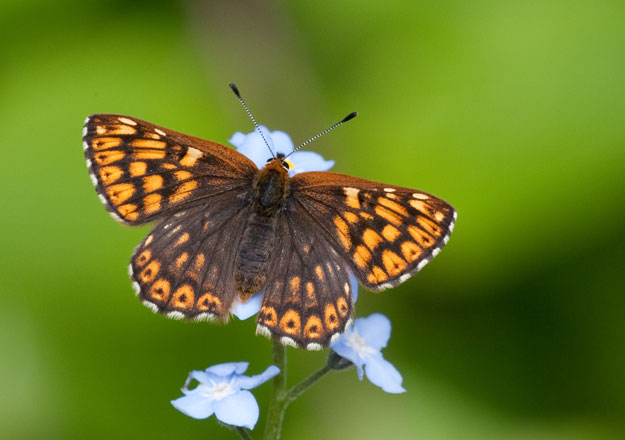 http://butterfly-conservation.org/files/duke-of-burgundy-upperwing1-peter-eeles-web.jpg