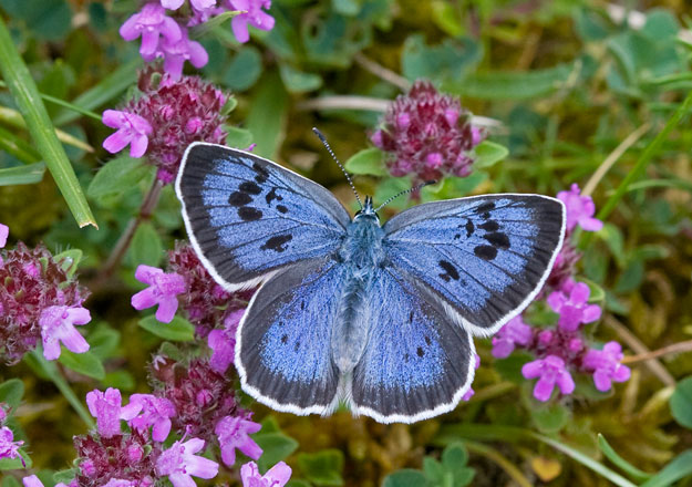 Image result for butterflies large blue